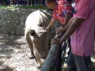 สวนสัตว์สงขลาจัดบุฟเฟ่ต์อาหารแรดขาววันแรดโลกเปิดให้ นทท.เข้าชมใกล้ชิด